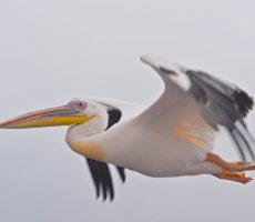 The art of kissing a pelicanDSC_0796